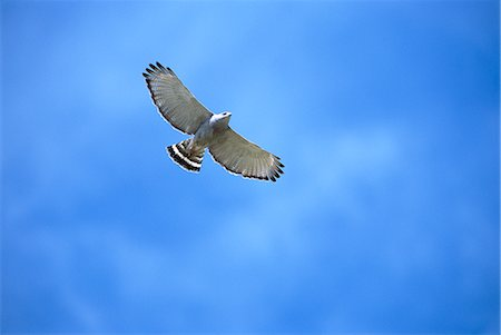 848-02817247© Minden Pictures / MasterfileModel Release: NoProperty Release: NoGray Hawk (Buteo nitidus) flying, Patagonia, Arizona