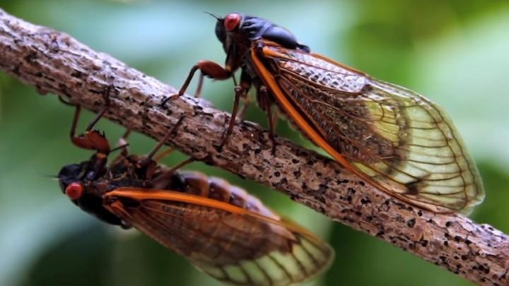 Cicadas (Small)