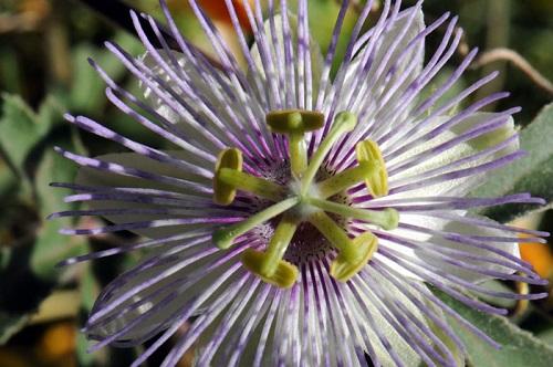 Passiflora-arizonica-Arizona-Passionflower700x465