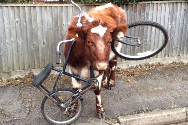 PAY-cow-with-bike-main