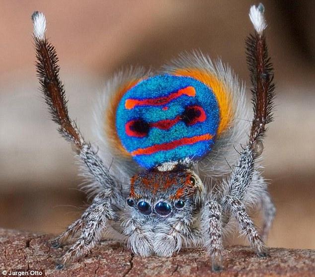 pimp spider