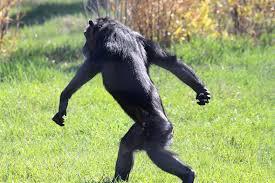 chimp download