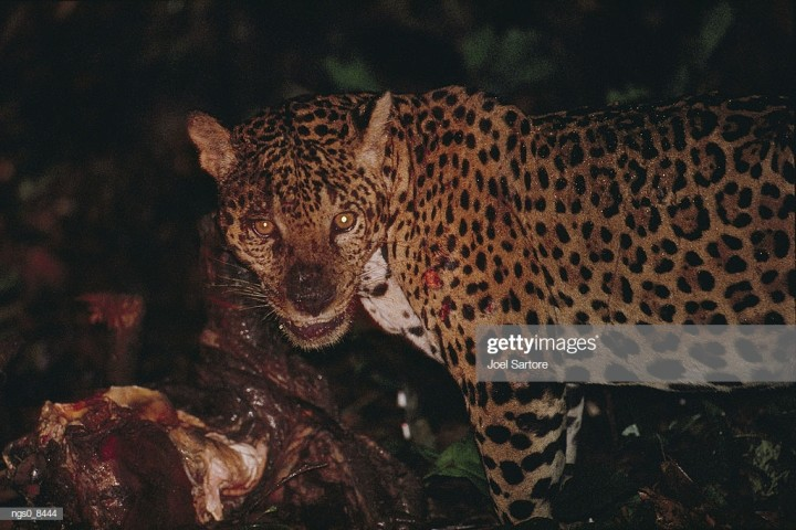 One peccary lost and is now this big cat's evening meal.