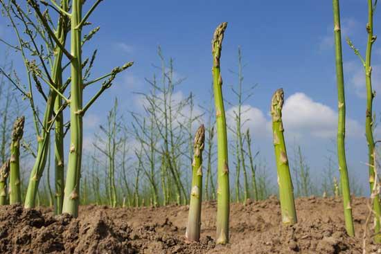 asparagus jpg