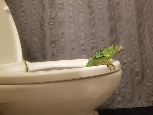Florida Toilet Lizard